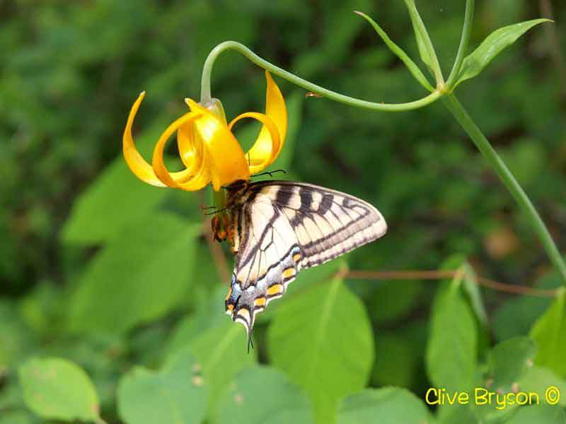 Swallowtail Butterfly on Tiger lily
